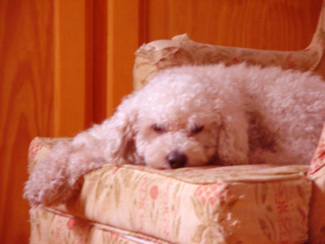 Cão Pantufa